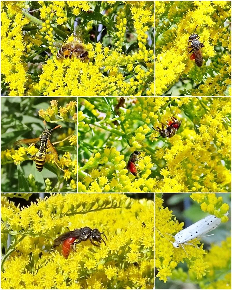 2018-08-05 bis 12 LüchowSss Garten Nordamerikanische Goldrute + Honigbiene + Blutbienen + Wespe + Gespinstmotte (1x6)